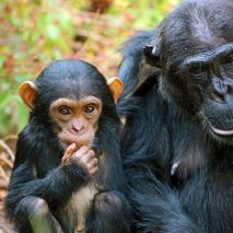 HEART of AFRICA tour Kungwe Baby Chimp
