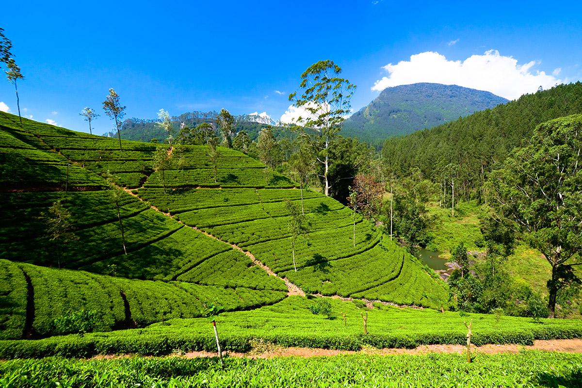 Sri Lanka DotM 008